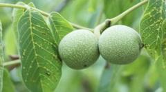 Unripe walnut Stock Footage