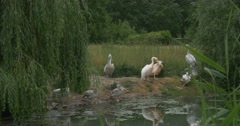 Group of Pelecanus Rufescens,Onocrotalus, Pink- Backed And Great White Pelicans Stock Footage