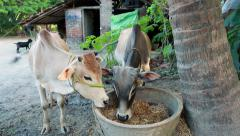 Scene of rural life. Cows in the yard of a village house in Eastern India. - stock footage