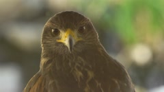 Close Up of Wild Hawk Looking at Camera - stock footage