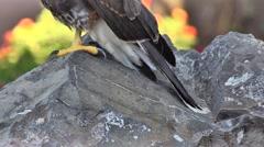 Pan Up of Wild Hawk Sitting on Rock Stock Footage