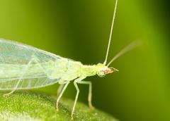 Green leaves taken lacewing flies, close-up images Stock Photos