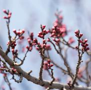 Swollen buds with flowers on a tree in spring Stock Photos