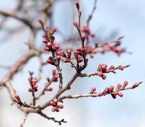 swollen buds with flowers on a tree in spring - stock photo