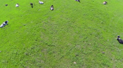 A herd of cows vacationers. Aerial view. Stock Footage