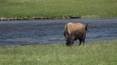 Young Bison grazing along river Yellowstone Park 4K 016 Stock Footage
