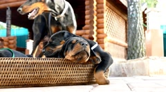 Group of doberman puppies in basket Stock Footage