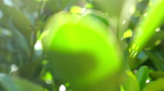 Green leaves lit with sunlight, dolly Stock Footage