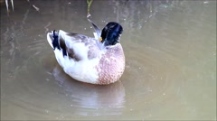 Drake mallard duck cleaning itself in a pond Stock Footage