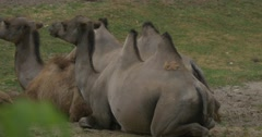 Three Two-Humped Bactrian Camels Are Lying Stock Footage