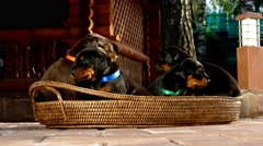 Group of doberman puppies in basket Stock Footage