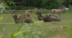 Two Bactrian Camels And Two Kulans, Animals Are Lying Stock Footage