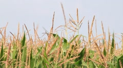 Cornfield maize in September Stock Footage