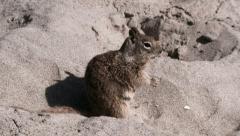 Ground Squirrel Running at Sandy Beach Stock Footage