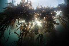 Kelp Forest Canopy - stock photo