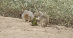 Chipmunks eating and running Stock Footage