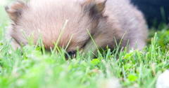 Puppy dog laying in grass Chow Chow breed 4k Stock Footage