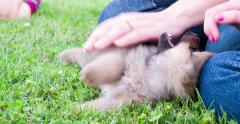Playful Chow Chow puppy in grass biting kids hands 4k Stock Footage