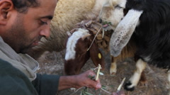 Biblical Re-enactment of Shepherd feeding sheep - stock footage