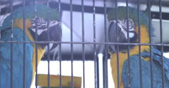 Adult Macaw parrots behind cage bars 4k Stock Footage