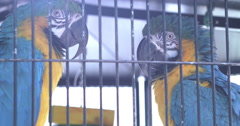 Colorful Macaw parrots in cage 4k Stock Footage