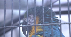 Macaw bird looking at camera from behind cage bars 4k Stock Footage