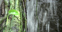 Vines growing on tree dangling in waterfall 4k Stock Footage