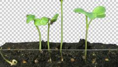 Stock Video Footage of Time-lapse of growing radish, with ALPHA channel
