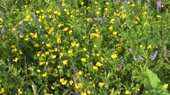 Yellow Vetch Flowers Stock Footage