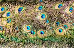 Tail feathers of male peacock Stock Photos