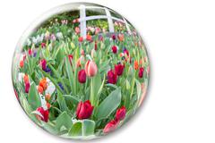 Glass sphere reflecting red tulips flowers Stock Photos