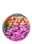 Crystal ball with various colored tulips on white background - stock photo