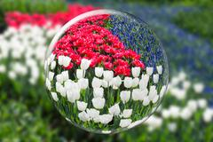 Glass sphere reflecting red white tulips and blue grape hyacinths Stock Photos