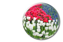 Red white tulips and blue grape hyacinths in crystal sphere - stock photo
