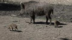 Wild boar mother with two following baby boars Stock Footage