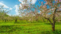 Blossoming apple orchard, panoramic time-lapse Stock Footage