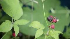 Black raspberries Stock Footage