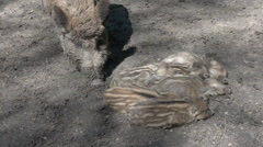 Young boar babies group sleeping on sunny ground Stock Footage