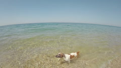 Dog Jack Russell runs along the seashore by the girl and jumping into the water Stock Footage