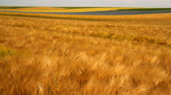 Stock Video Footage of Ripe wheat in anticipation of the harvest.