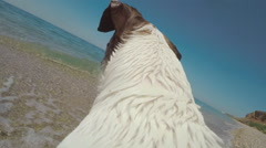 Dog Jack Russell running with gopro camera on a back in the water and swimming Stock Footage