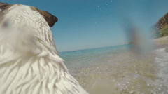 Dog Jack Russell running with gopro camera on the back in water and swimming in Stock Footage