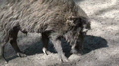 Wild boar close up searching the sandy ground Stock Footage