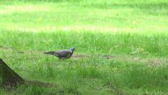 Pigeon in the park - green grass Stock Footage