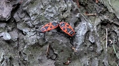 Two true bug together on tree bark - closeup Stock Footage