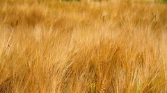 Ripe wheat in anticipation of the harvest. - stock footage