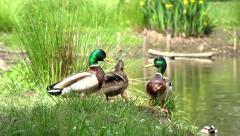 Stock Video Footage of Ducks on the riverbank