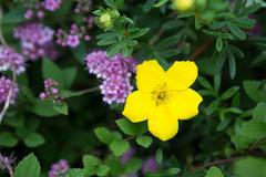 Allamanda, beautiful yellow flower Stock Photos