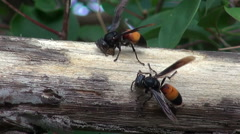 Stock Video Footage of Lesser Banded Hornet (Vespa affinis) Macro Time Lapse - 11
