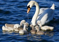 The mother-swan helps her chicks to get the algae from the lake Stock Photos